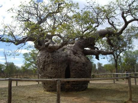 k3boab_prison_tree